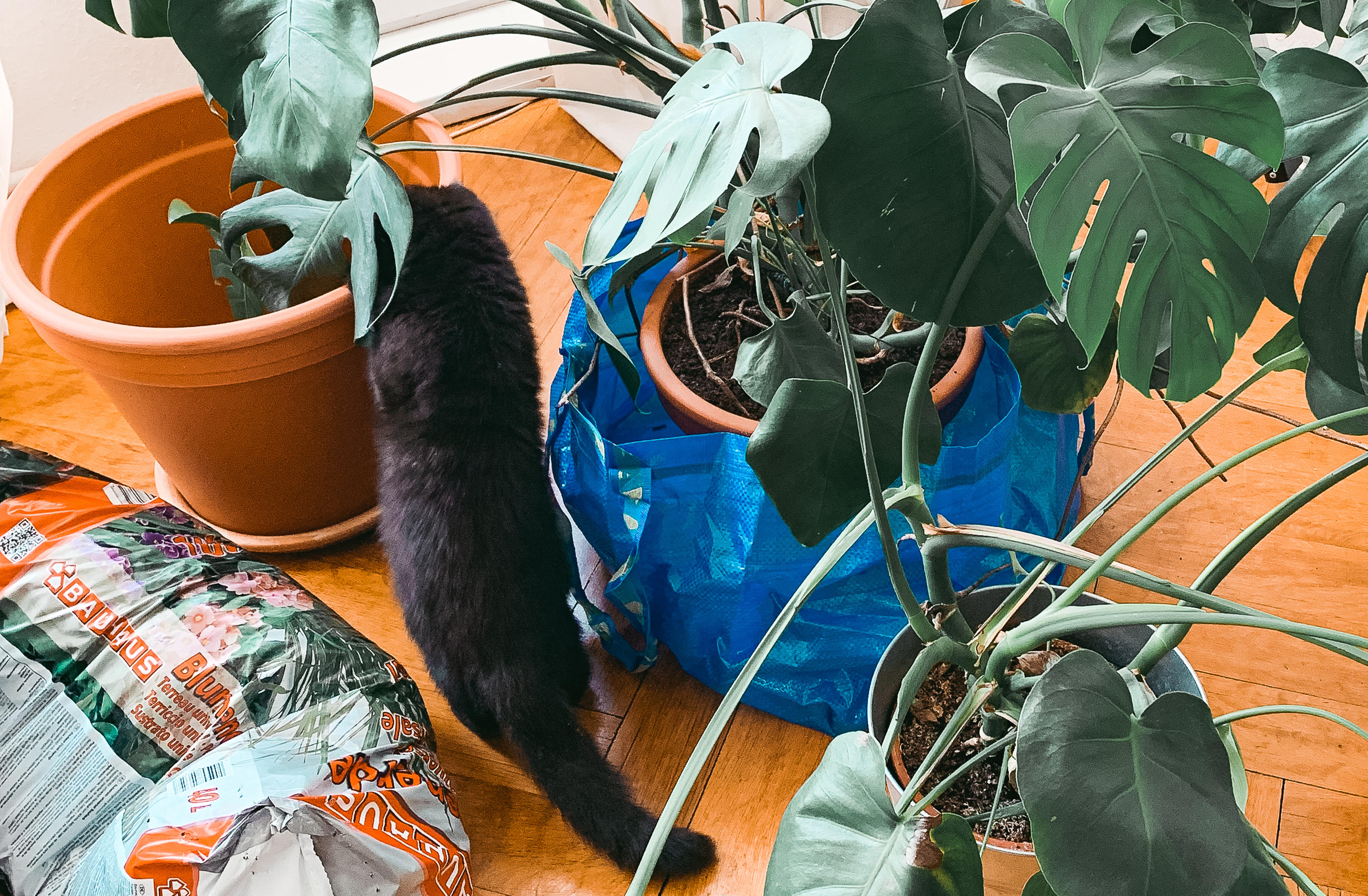Zwei Monsteras kurz vor dem Umtopfen, ein Sack mit Erde und eine schwarze Katze, die den Terrakottatopf inspiziert