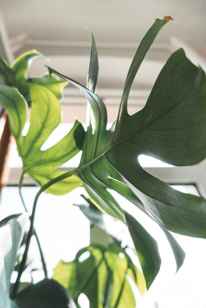 Blatt der Monstera Deliciosa im Schlafzimmer von Fridlaa