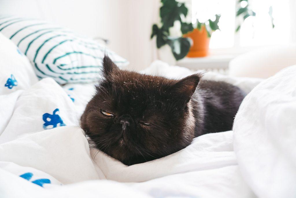 Fridlaa Exotic Shorthair Kater Alfie schläft auf dem Bett und der Ikea Tänkvärd Bettwäsche mit Oyoyo Kissen, im Hintergrund eine Monstera Deliciosa