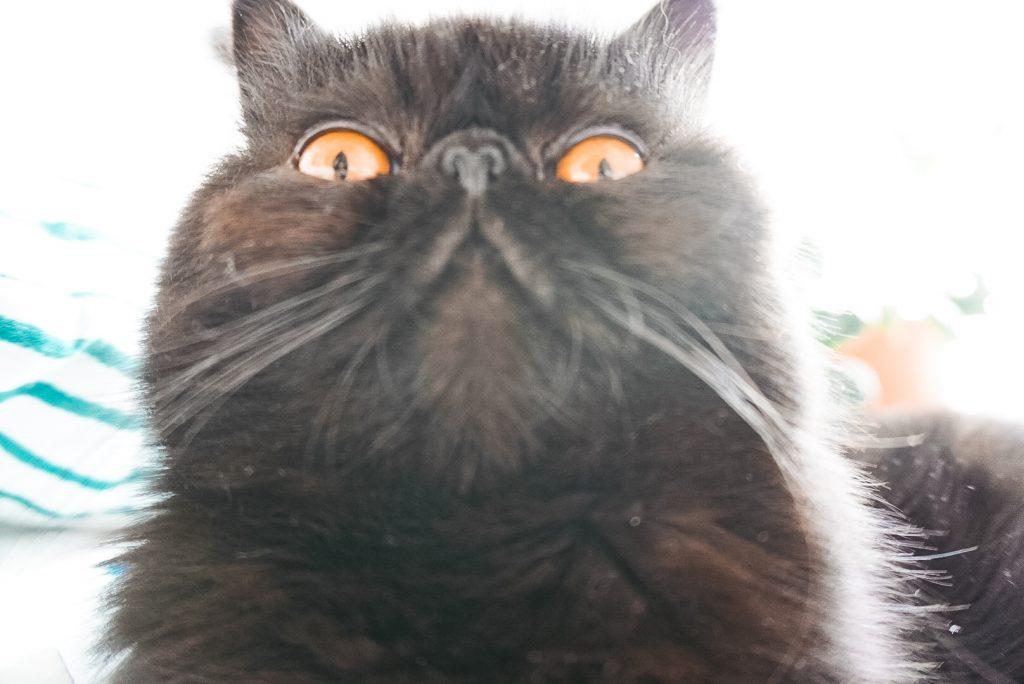 Fridlaa Exotic Shorthair Kater Alfie sitzt auf dem Bett und macht ein Selfie