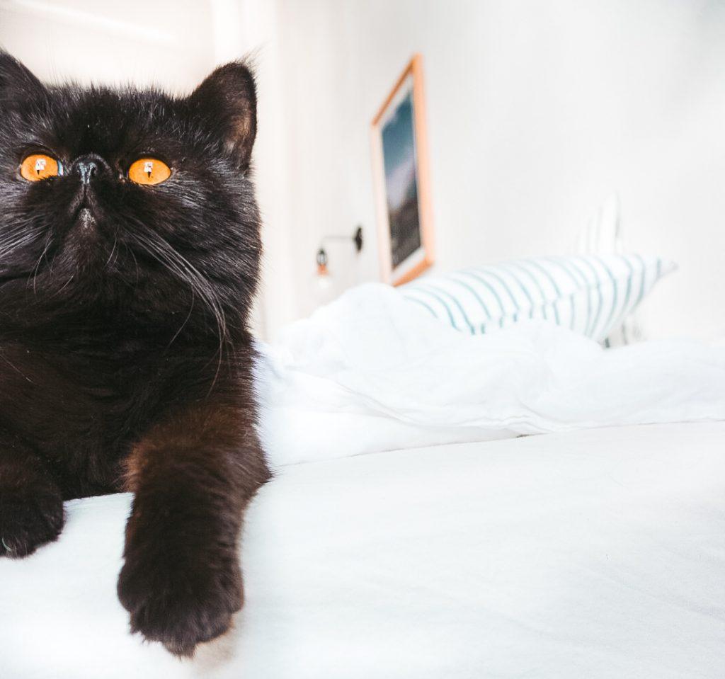 Fridlaa Exotic Shorthair Kater Alfie sitzt auf dem Bett und der H&M home Leinen-Bettwäsche mit Oyoyo Kissen und guckt in die Kamera