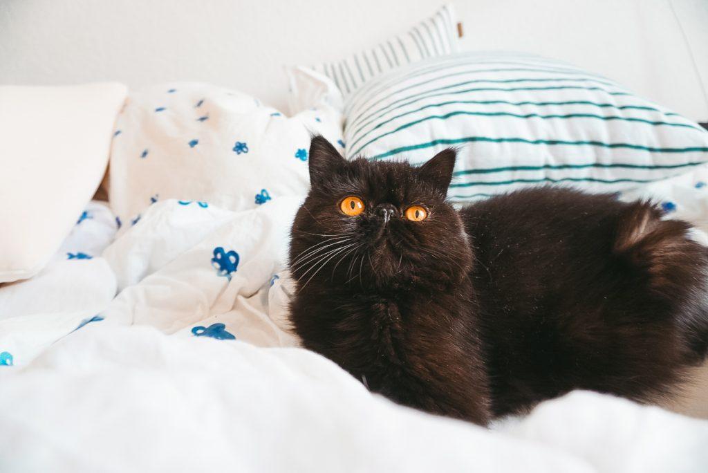 Fridlaa Exotic Shorthair Kater Alfie sitzt auf dem Bett und der Ikea Tänkvärd Bettwäsche mit Oyoyo Kissen und guckt in die Kamera